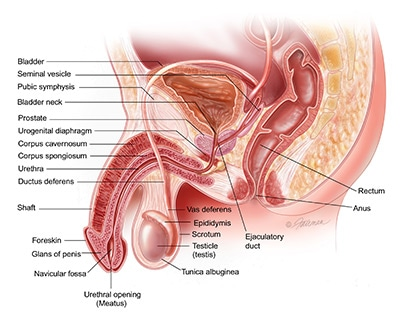 Illustration of male reproductive anatomy